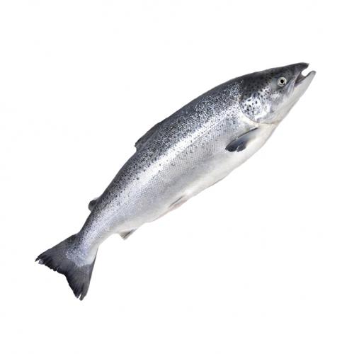 Лосось 8-9 кг  с/м Чили (Семга)