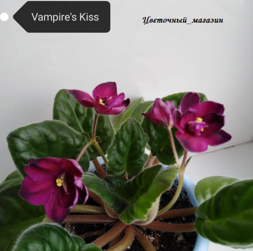 Фиалка Vampire`s Kiss