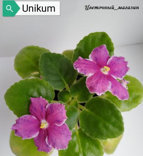 Фиалка Unikum