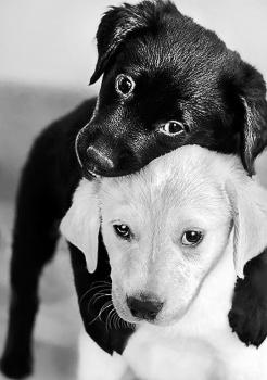 Алмазная мозайка: Черный и белый щенок размер 19х27 Ag 453