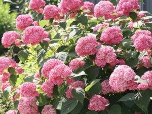 Гортензия древовидная Pink Annabelle (Пинк Аннабель)