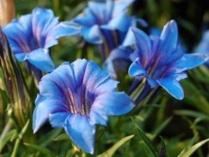 Горечавка Blue-Magic (Блю Мэджик)