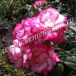 Роза плетистая Хэндэль