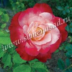 Роза чайно-гибридная Фоти Найнэ