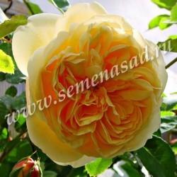 Роза английская парковая Тизинг Джорджиа