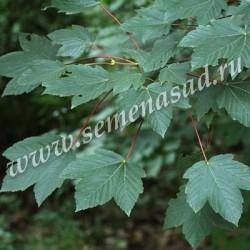Клён ложноплатановый Атропурпуреум