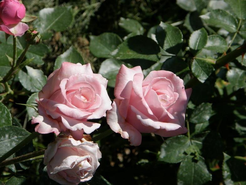 роза утро москвы фото и описание отзывы использования основных средств