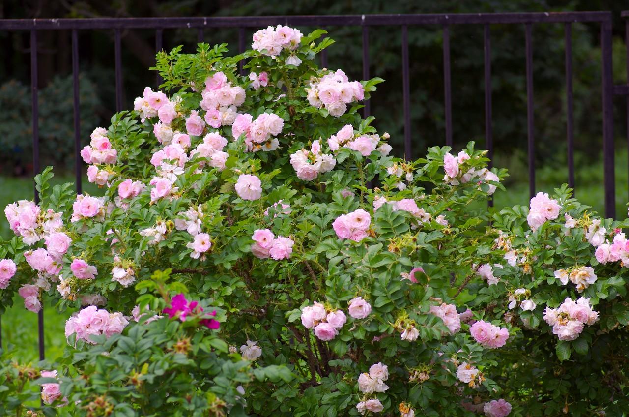 панели роза парковая розовая фото и описание игры