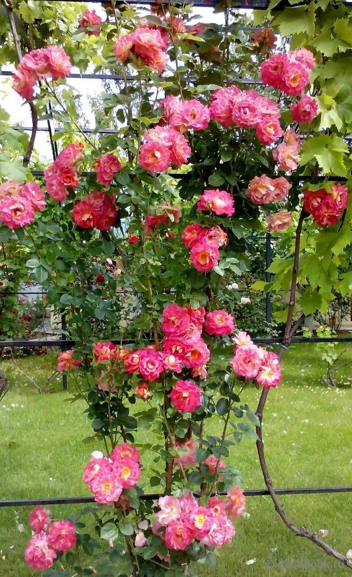 предметы роза плетистая декор арлекин фото она, увы