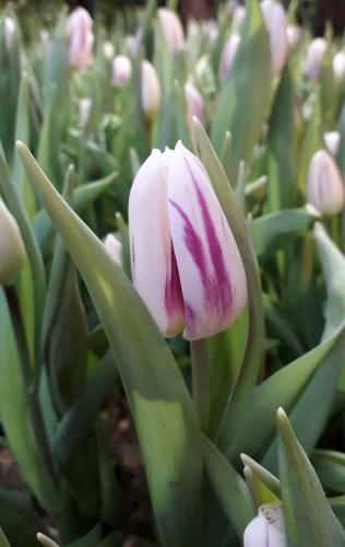 сорт Flaming Flag луковицы тюльпанов