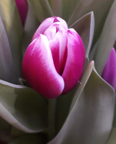 сорт Remise луковицы тюльпанов