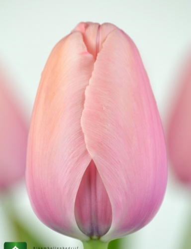 сор  Salmon Impression луковицы тюльпанов