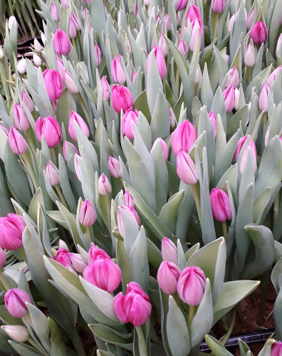 сорт Huntsville луковицы тюльпанов