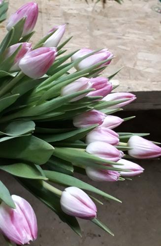 сорт First Class луковицы тюльпанов