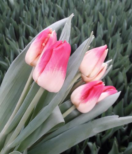 сорт Match луковицы тюльпанов