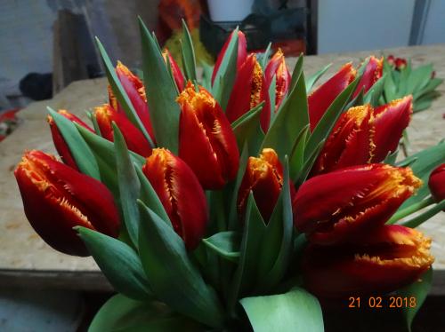 бахромчатый сорт Fabio луковицы тюльпанов
