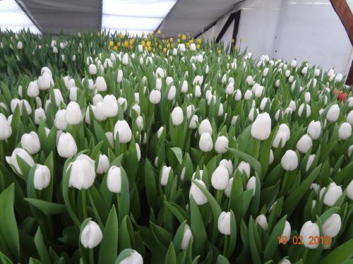 сорт Royal Virgih луковицы тюльпанов