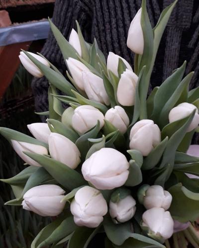 сорт White Prince луковицы тюльпанов
