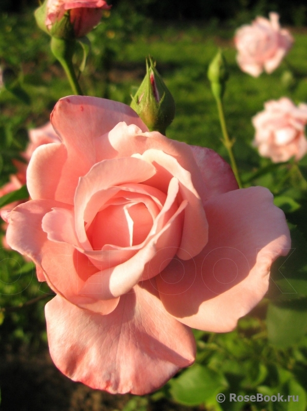 вас роза утро москвы фото и описание отзывы основная