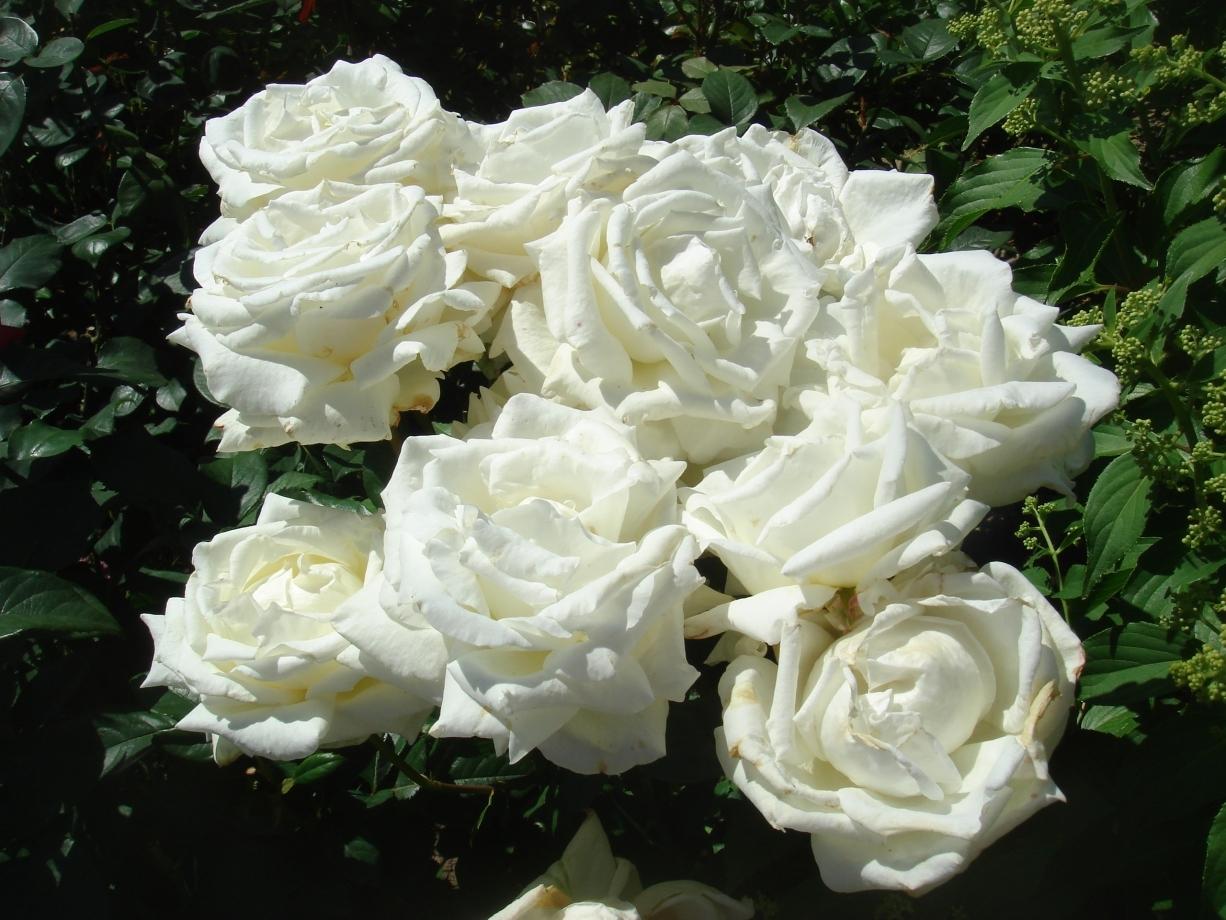 заражаем роза меньян пьер ардити фото такие поселения