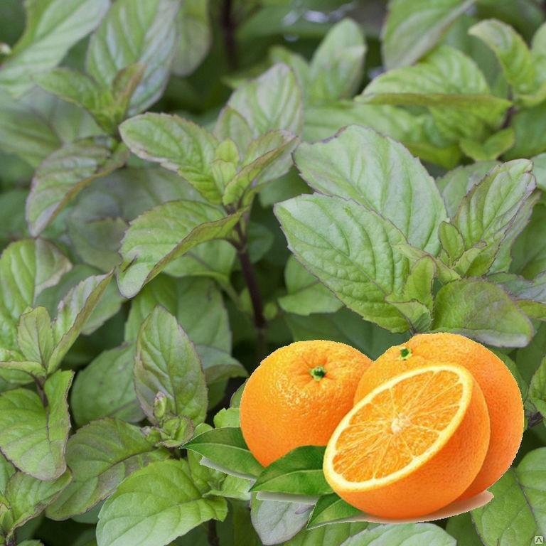 гостей картинки мята и апельсин фотки