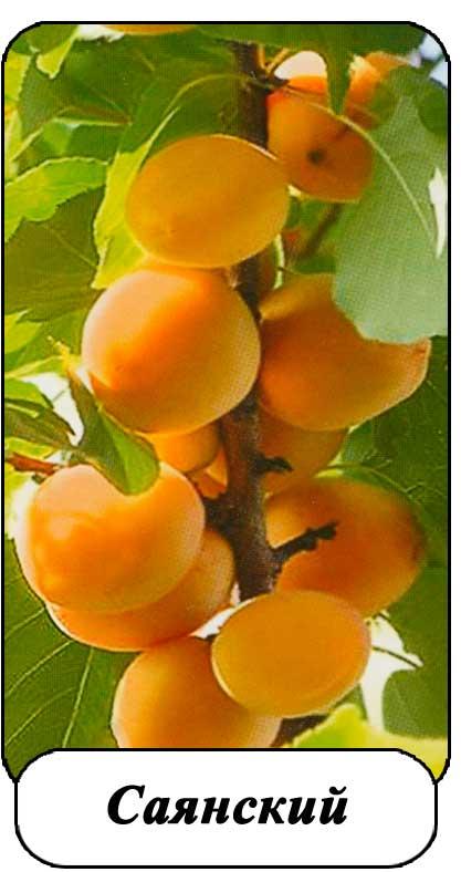 абрикос саянский описание сорта фото все