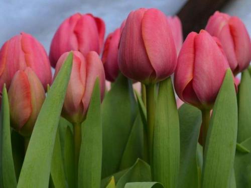 Carola луковицы тюльпанов, минимальный заказ 10 шт
