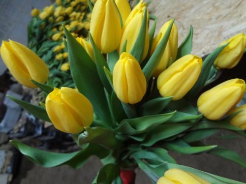 Strong Gold луковицы тюльпанов, минимальный заказ 10 шт.