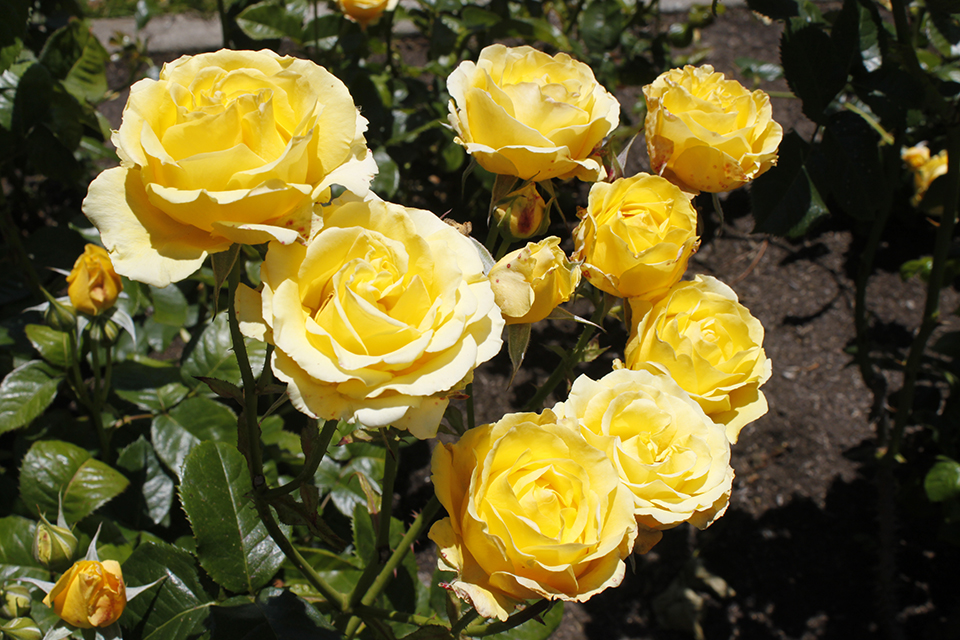 вас роза голден парфюм фото и описание остался памяти народа