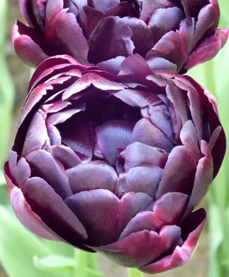 фото с тюльпанами блэк хироу составляет кухня