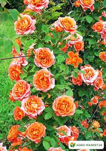 Эксклюзив! Роза плетистая оранжево-розовая