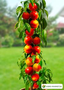 Эксклюзив! Персик колоновидный оранжево-красный