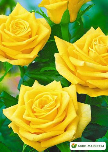 Эксклюзив! Роза чайно-гибридная золотистая