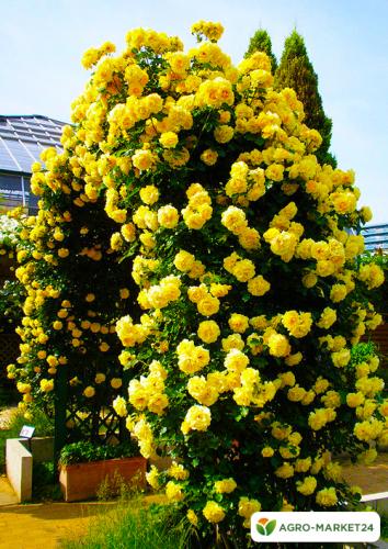 Эксклюзив! Роза плетистая ярко-желтая