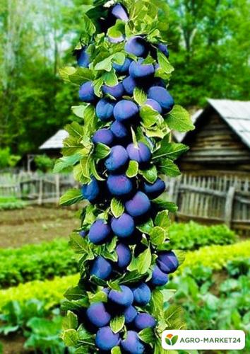 Эксклюзив! Слива колоновидная сине-фиолетовая