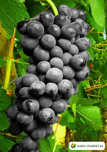 Эксклюзив! Виноград кишмиш насыщенно-черный