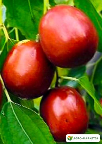 Эксклюзив! Зизифус коричневый с красным оттенком