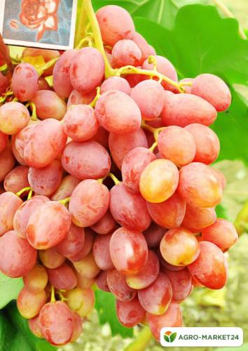 Эксклюзив! Виноград розовый