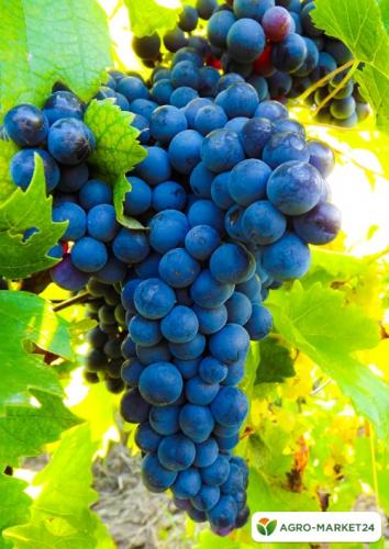 Эксклюзив! Виноград темно-синий