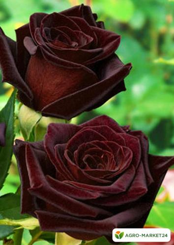 Эксклюзив! Роза чайно-гибридная темно-бордовая
