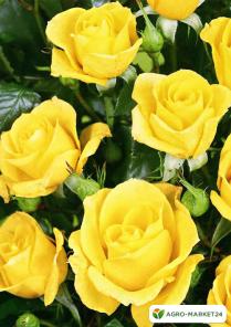 Эксклюзив! Роза спрей ярко-желтая