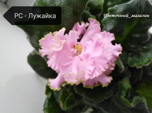 Фиалка РС-Лужайка