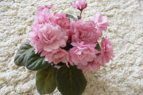Фиалка ЕК-Розовая Гирлянда