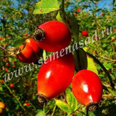 Шиповник Воронцовский 3 (раннесредний, плод красный, яйцевидный)