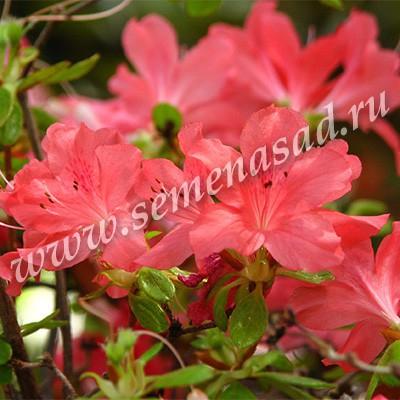 Азалия японская Эдди Вери (цветки оранжевые)
