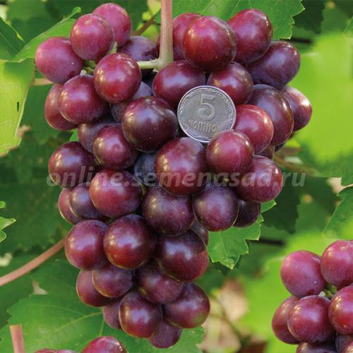 Виноград плодовый Подарок Несветая (очень ранний, ягода темно-красно-фиолетовая, оч. крупная)