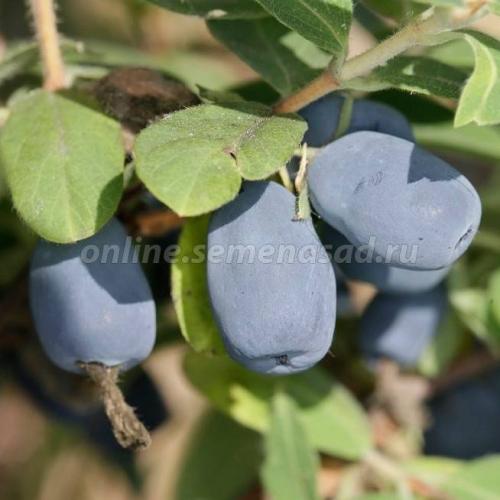 Жимолость съедобная Люкс Индиго Джем (поздний, ягода синяя с сизым налетом)