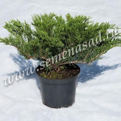 Можжевельник казацкий Тамарисцифолия (карликовый, медленнорастущий кустарник; хвоя густая, серо-зеленого цвета)