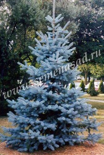 Ель колючая Мисти Блю (высокое дерево с правильной конической формой кроны, хвоя зеленовато-голубая со стальным отливом)