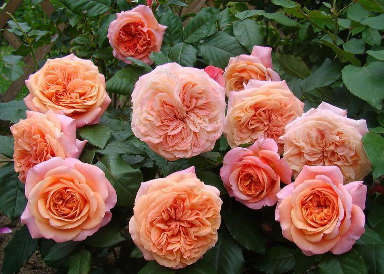 Роза чиппендейл фото и описание